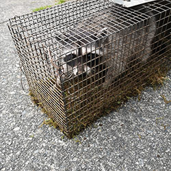 raccon in cage